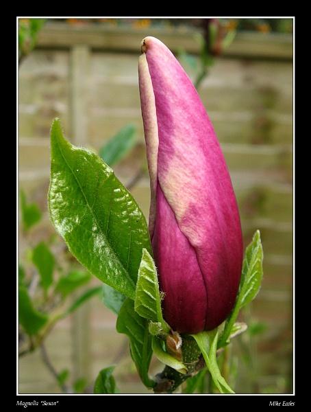 Magnolia Susan by oldgreyheron