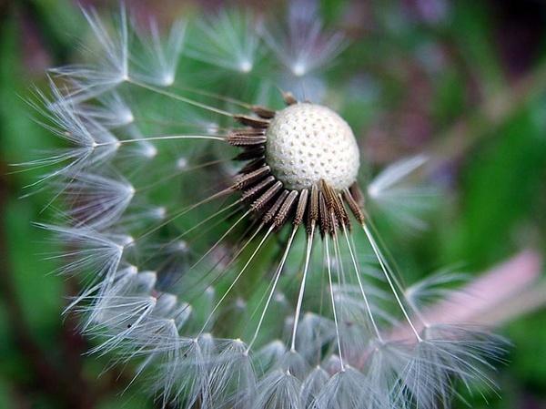 dandelion by clara_bow