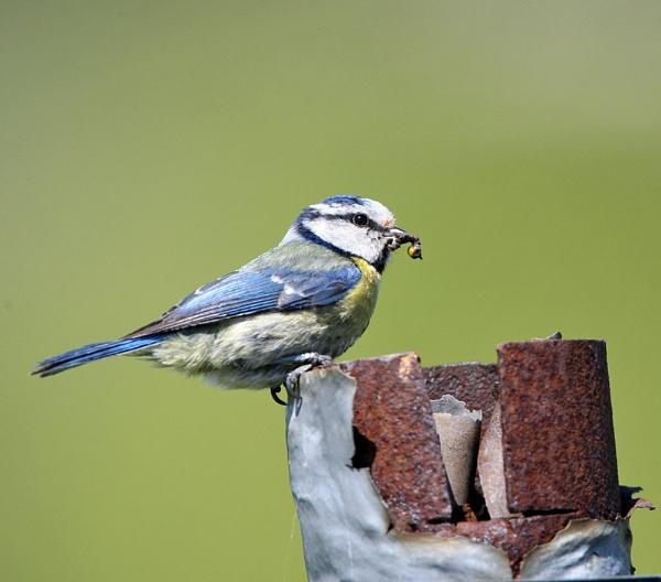Blue Tit Nest by paulxpaul