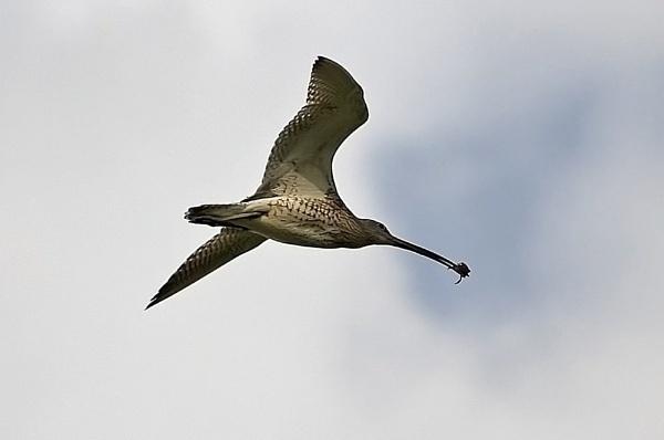 Curlew in flight by paulxpaul