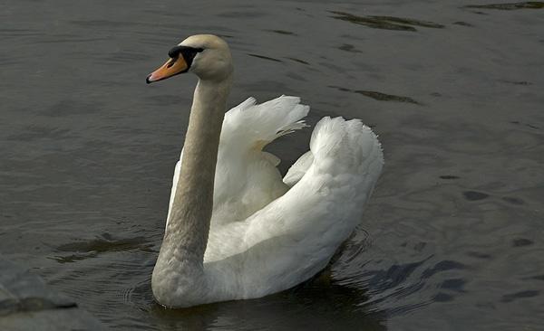 Swan by Lou_C