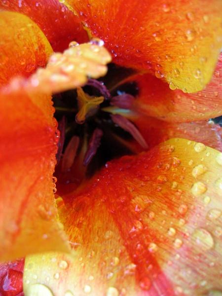 Tulip by sospan