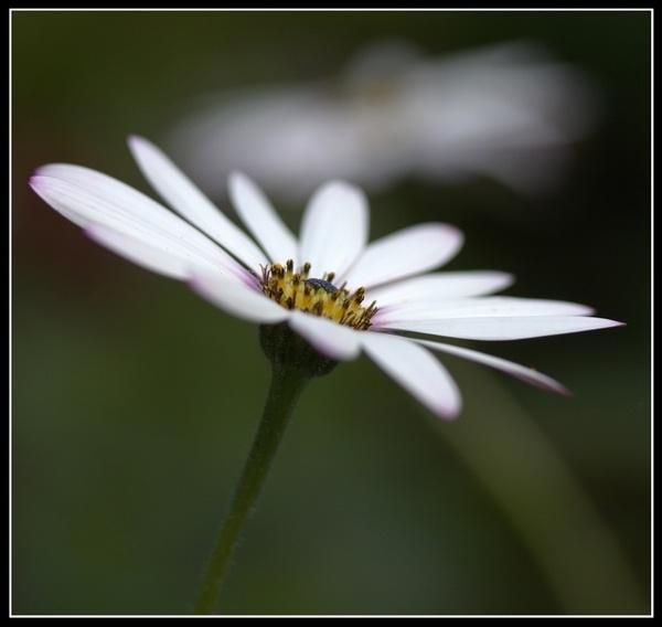 Simply Daisy 4 by rmr