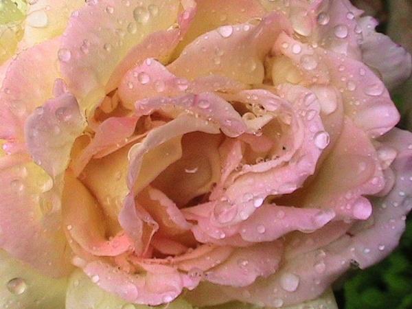 Rose vs Rain by dawnmichelle