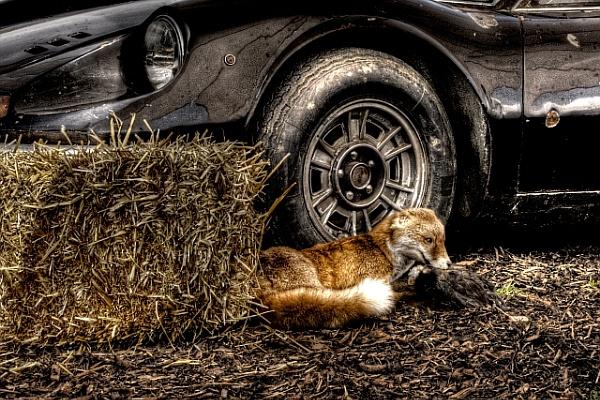Resting Fox by Stevehales