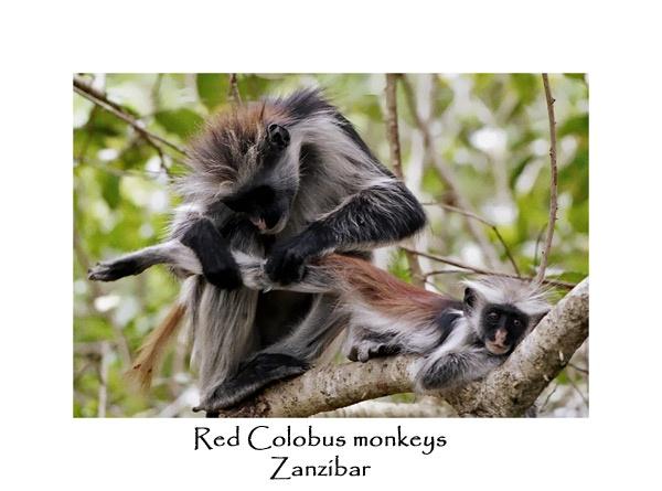 Red Colobus Monkeys by JakeK