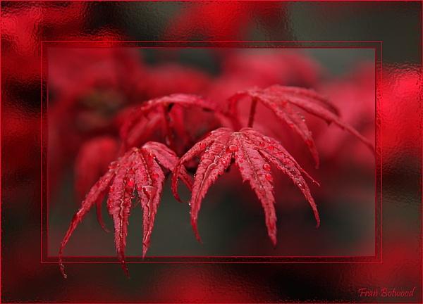 Crimson Glow by franfoto
