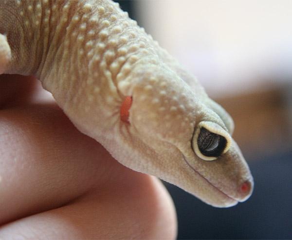 Keith the Gecko by jammy_sam