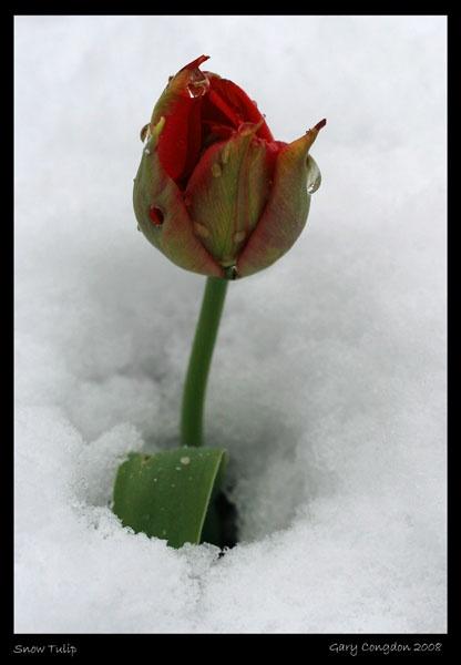 Snow Tulip by shinyredmx5