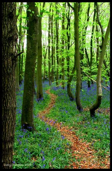 Bluebell walk by shinyredmx5
