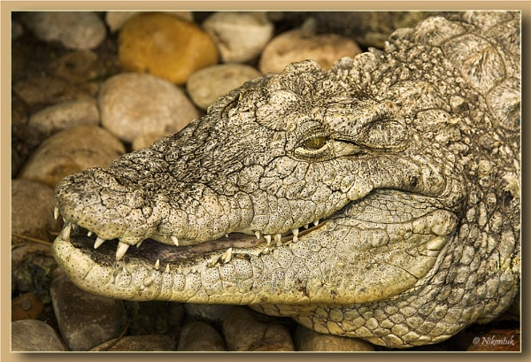 Nile Crocodile by FeatherFriend