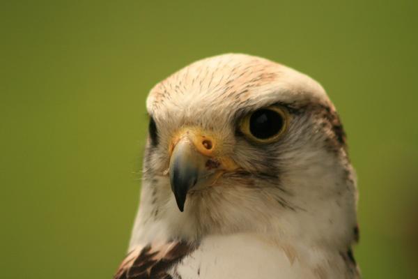 falcon by sniperj67