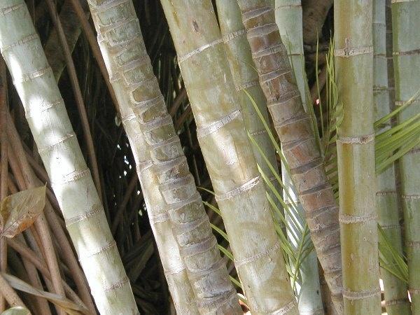 bamboo by Mintakax