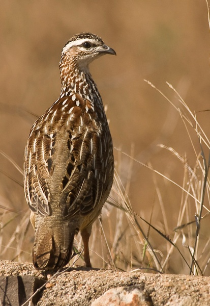 Crested Francolin by Kruger01