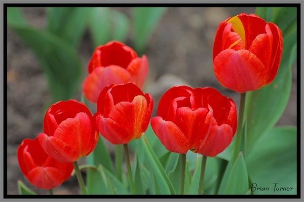 tulips 4 by ducatifogarty