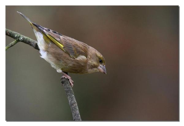 female finch by ayliffe