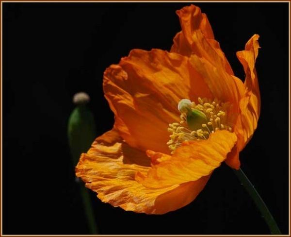 Californian Poppy by rikewoo