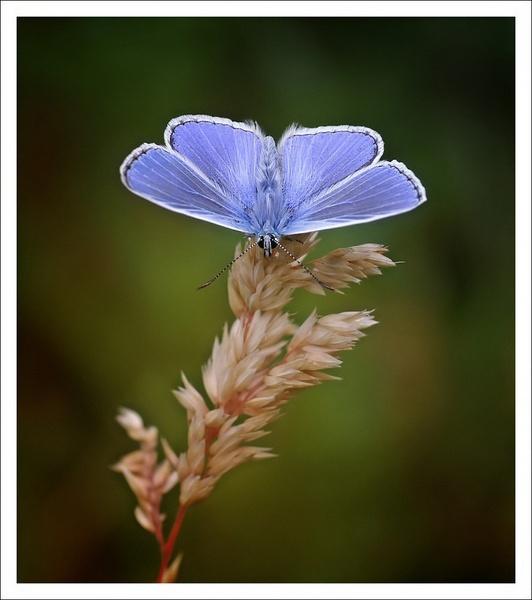 common blue by clintnewsham