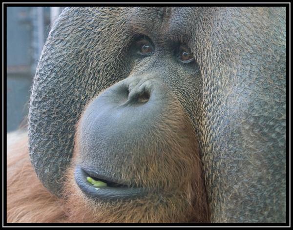 Orangutan by ronr