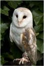 Barn Owl by dark_lord
