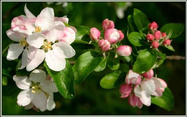 Blossom 3 by daringdaphne