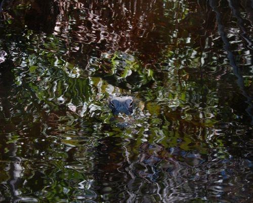 aligator by merlincat