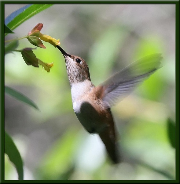 Hummer on Honeysuckle by VNelson