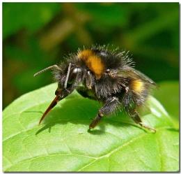 Preening Bee