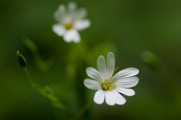 Greater Stitchwort by Pete