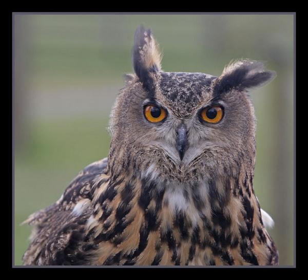 Big Eyed Owl by jamil
