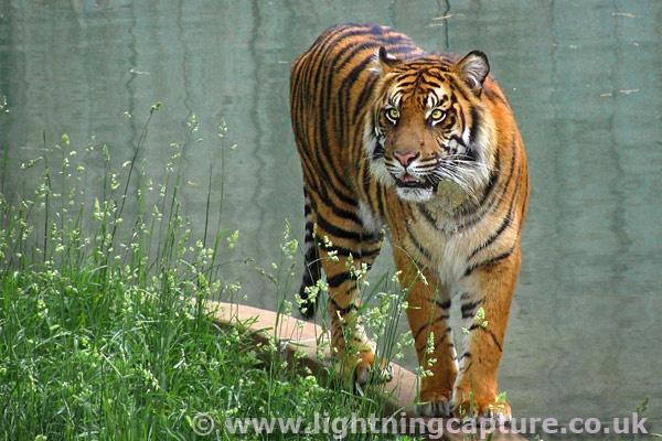 Tiger by Bainy