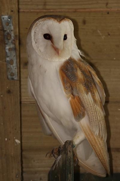 Barn Owl by mumfie2003