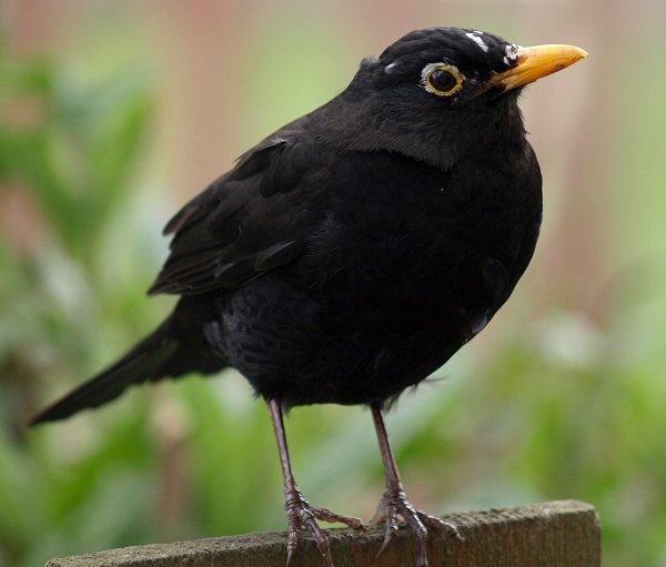 Blackbird by terra