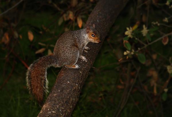 Night Time Squirrel by chensuriashi