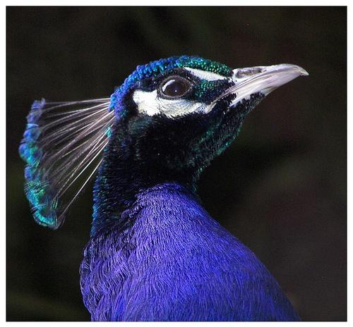 Peacock by Macnibbler