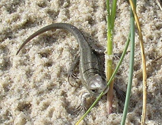lizard life by japa