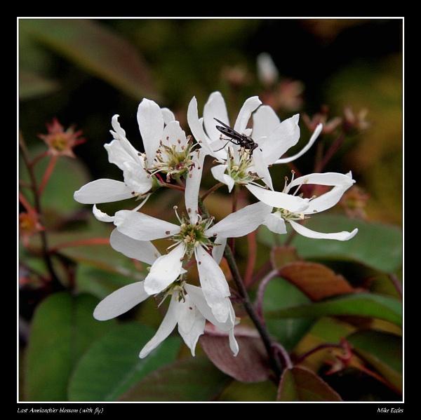 Last Amelanchier blossom by oldgreyheron