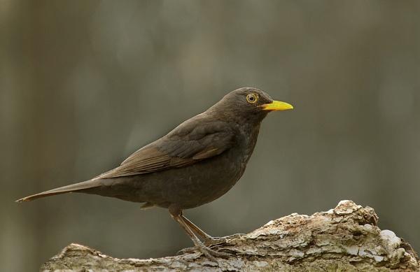 Blackbird. by JWA