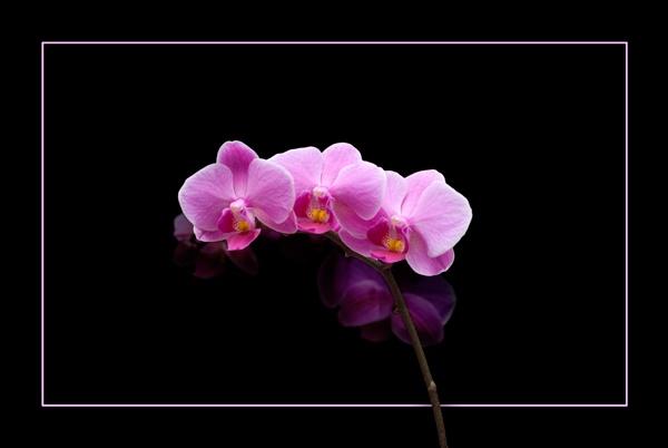 Orchid Trio by BubbaG2000