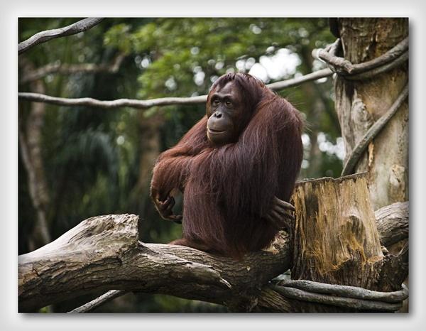 Monkey by olesyak
