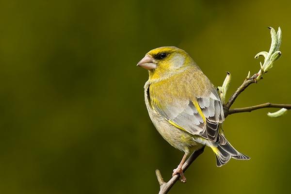 European-Greenfinch by VCLex