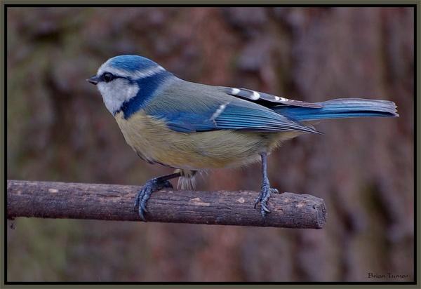 blue tit by ducatifogarty