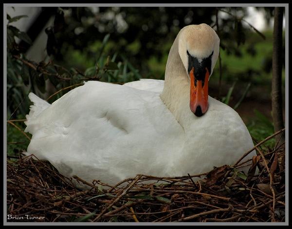 swan nest by ducatifogarty