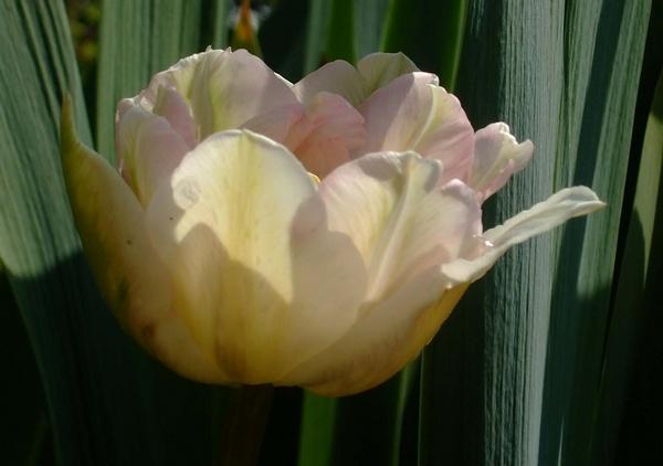 tulip by emmaA