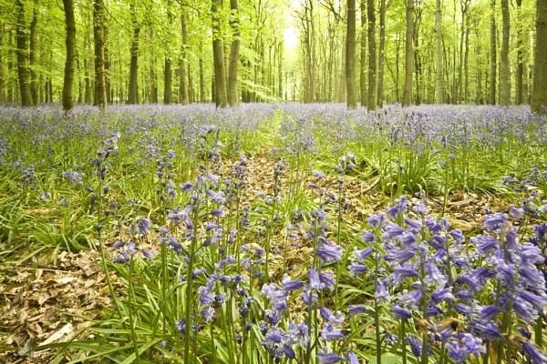 Blubell Woods by LlesdnilLegin