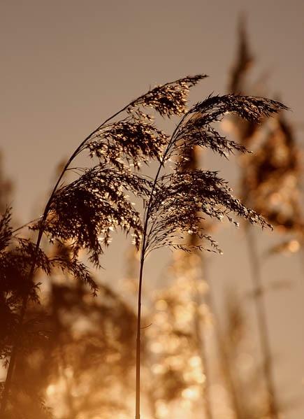 Reeds aglow