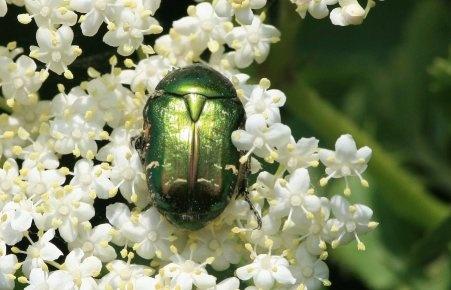 Scarab Beetle? by cheddar-caveman