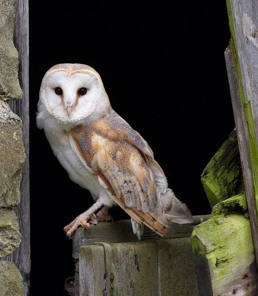Barn Owl by strawman