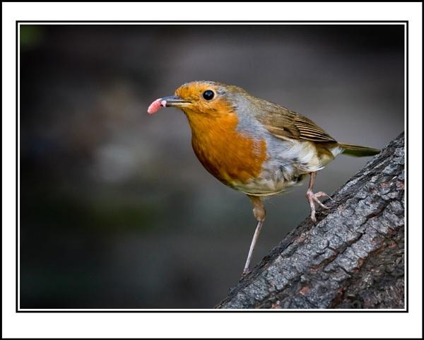 Robin by ron thomas