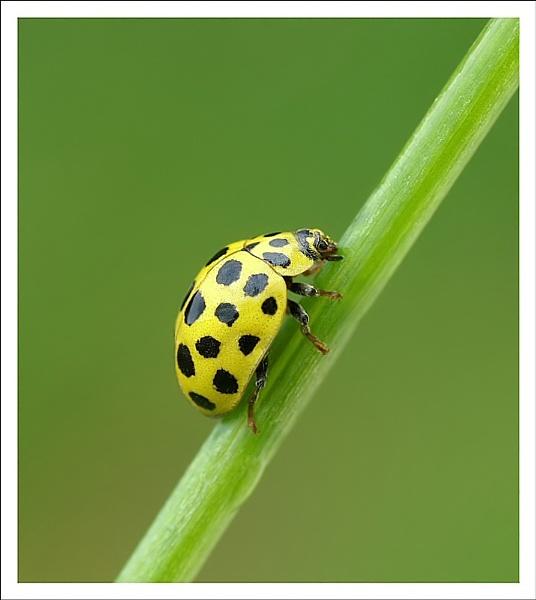 22 spot ladybird by clintnewsham